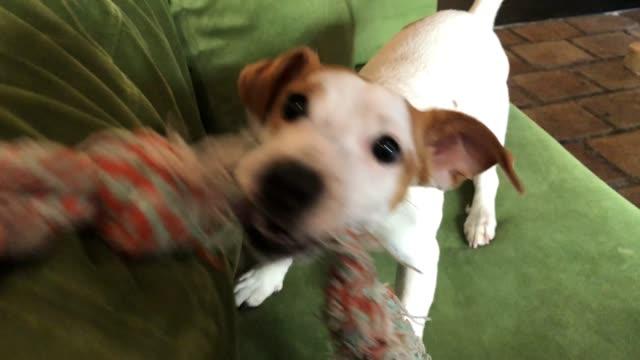 vídeos de stock e filmes b-roll de dog pulling rope - puxar cabelos