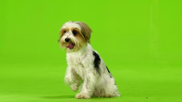 Dog raised his paw and stuck out his tongue. Green screen. Slow motion Dog raised his paw and stuck out his tongue, she wanted to drink. Green screen. Slow motion lying down stock videos & royalty-free footage