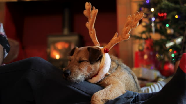 dog relaxing at christmas - cena di natale video stock e b–roll