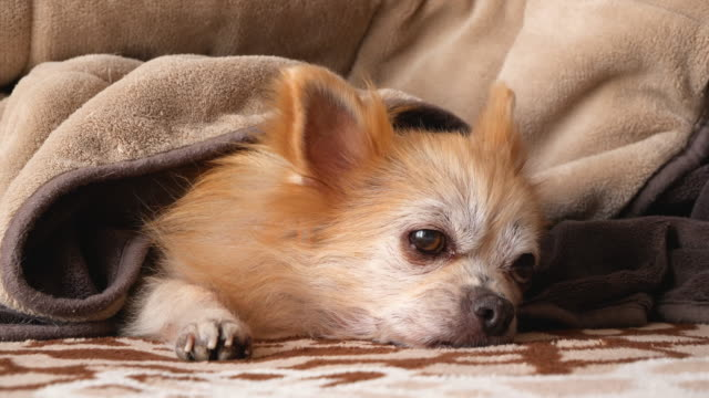 a dog relaxing indoors. - viziarsi video stock e b–roll