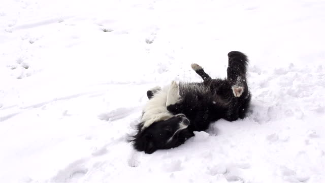 SLOW MOTION: Dog rolling in fresh snow video