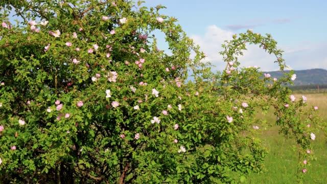 そよ風の中で犬のバラの茂み - イヌバラ点の映像素材/bロール