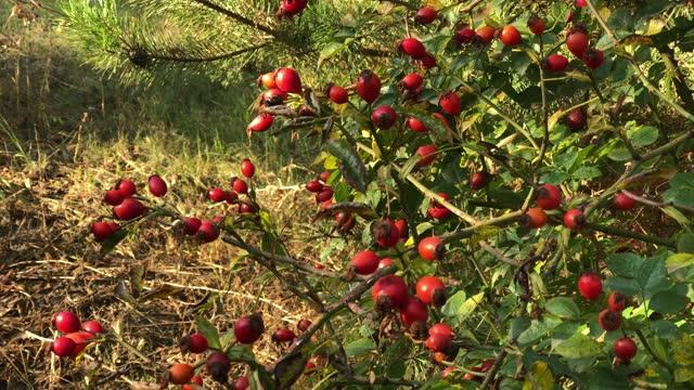 cespuglio di rose canina con fianchi rossi nel giardino autunnale. - cinorrodo video stock e b–roll