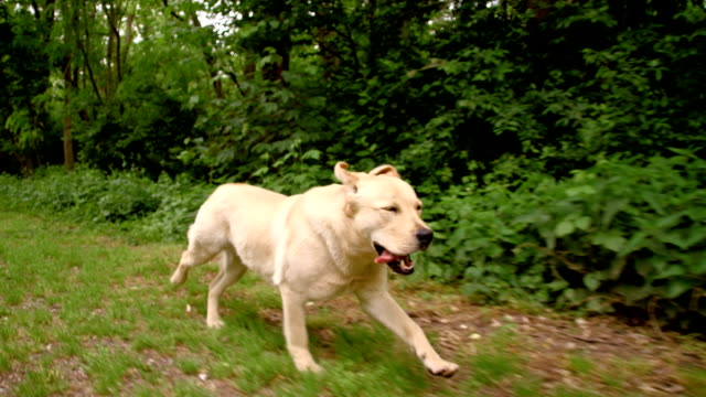 SLO MO Dog running along the forest Slow motion close up camera stabilization shot of a cute yellow labrador retriever running in grass along the forest. chasing stock videos & royalty-free footage