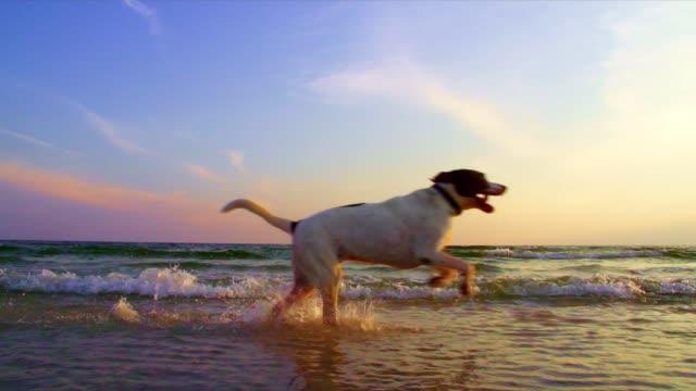 ビーチで走っている犬 - 犬点の映像素材/bロール