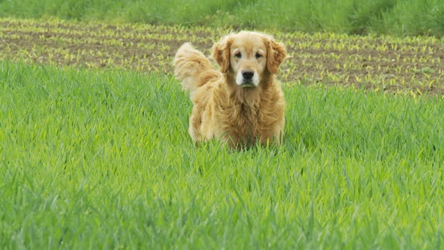 hd slow-motion: cane in esecuzione in erba - cane addestrato video stock e b–roll