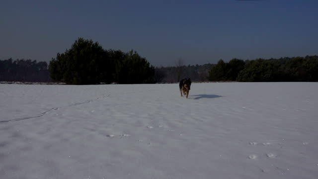 Dog (German Shepherd ) running in the snow in winter. Slow motion. Beautiful sunny weather. video