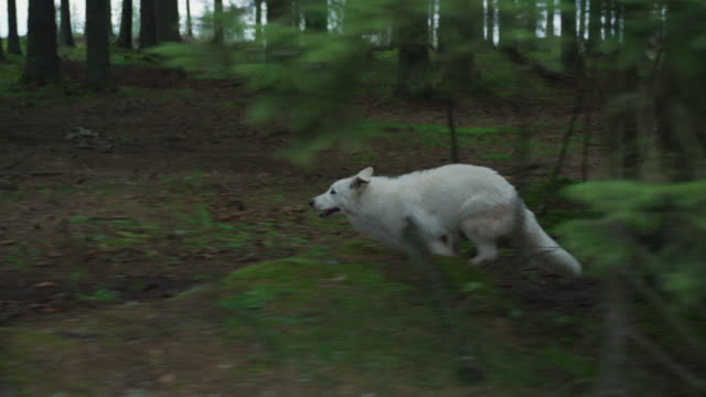 dog running into the woods - lupo video stock e b–roll
