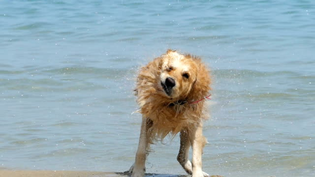 Dog running on beach video