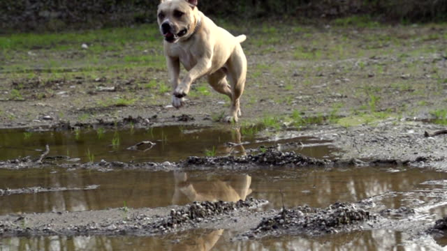 SLOW MOTION: Dog running over puddles video