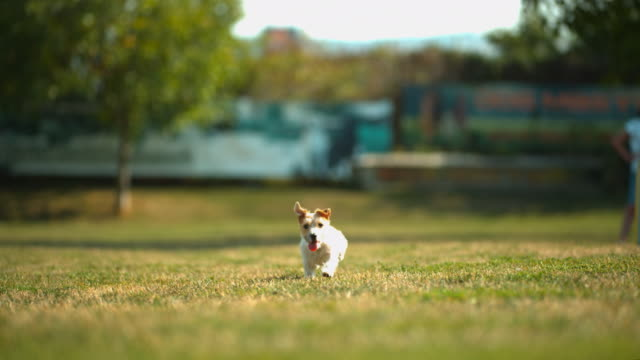 Dog running, Ultra Slow Motion Puppy running, Ultra Slow Motion jack russell terrier stock videos & royalty-free footage