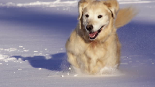 Dog runs and plays in the snow video