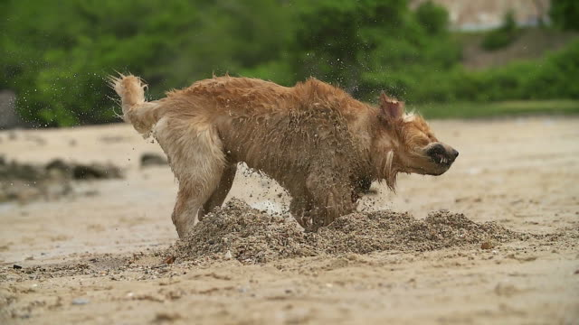 Dog shaking his body on the beach shore with slow motion shot. Dog shaking his body on the beach shore with slow motion shot. shaking stock videos & royalty-free footage