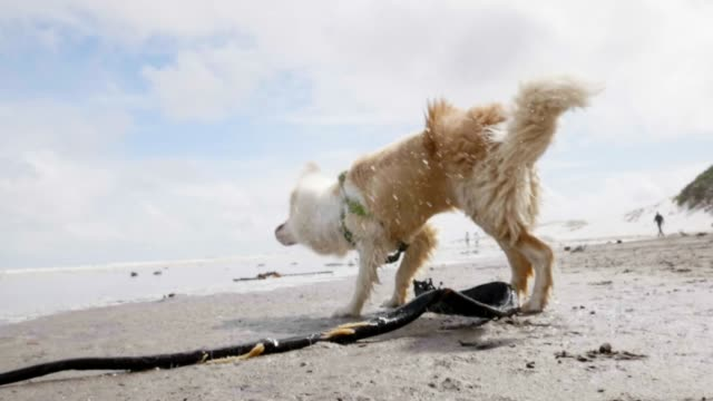 dog shaking off water at the beach - border collie video stock e b–roll