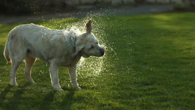 dog shaking off water, slow motion - 濕的 個影片檔及 b 捲影像