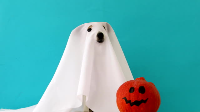 dog sit as a ghost for halloween with pumpkin - zucca video stock e b–roll