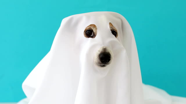 dog sit as a ghost scary and spooky - halloween video stock e b–roll