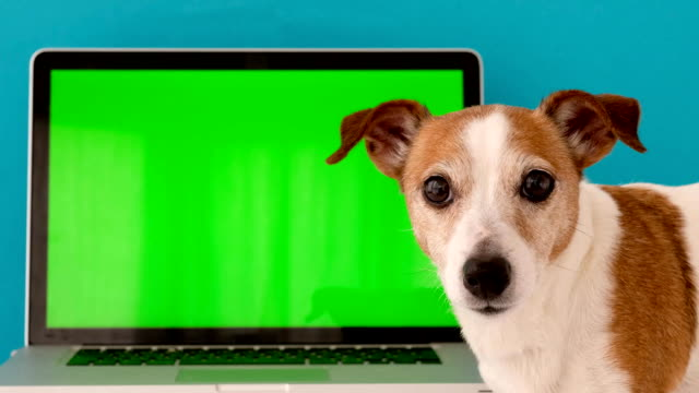 dog sits next to the laptop green screen - terrier video stock e b–roll