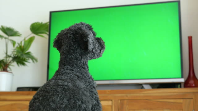 Dog (poodle) sitting in front of the TV