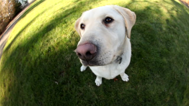 dog sitting in grass, fisheye perspective - burun vücut parçaları stok videoları ve detay görüntü çekimi