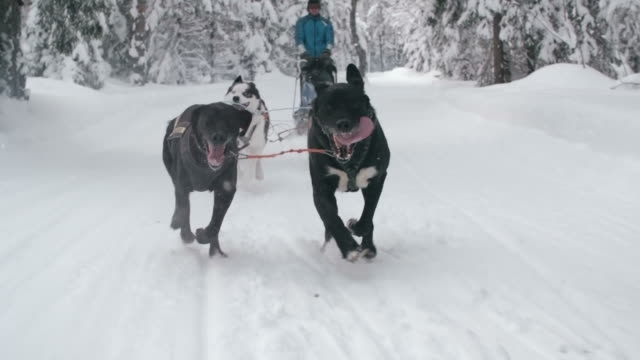 Dog sled racing through snowy forest video