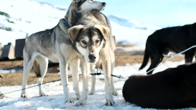 dog sledding in the catalan pyrenees, resting after a long work day. - malamute video stock e b–roll