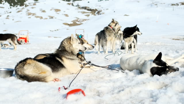 Dog sledding in the Catalan Pyrenees, resting after a long work day.