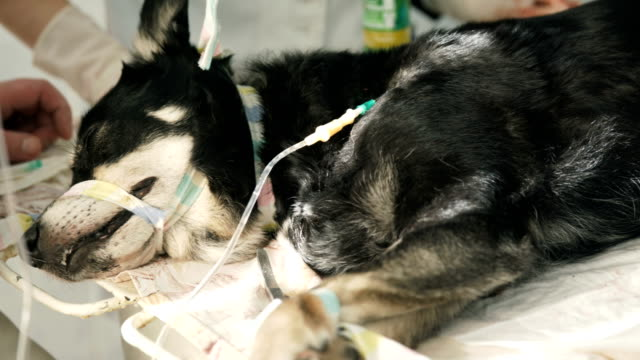 A dog sleeping on an I.V after surgery A dog sleeping on an I.V after surgery videos of dogs mating stock videos & royalty-free footage