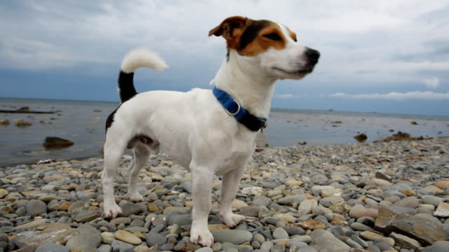 Dog stands on the seashore and looks into the distance Small dog breed Jack Russell Terrier looks into the distance on the coast. hound stock videos & royalty-free footage