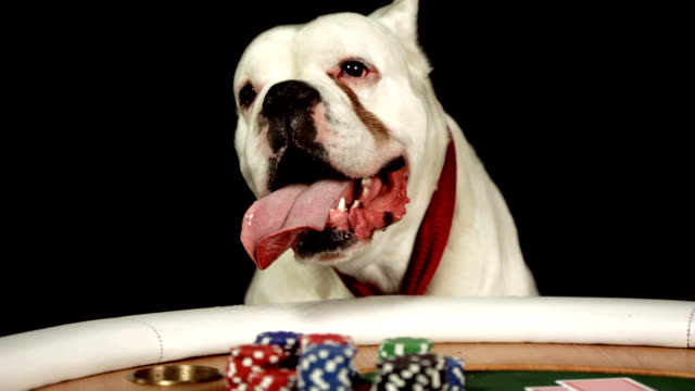 HD DOLLY: Dog Sticking Tongue Out While Playing Poker video