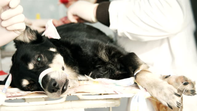 Dog surgery. All phases of ovary removal Dog surgery. All phases of ovary removal videos of dogs mating stock videos & royalty-free footage