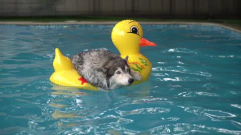 cane nuoto in piscina - carino video stock e b–roll