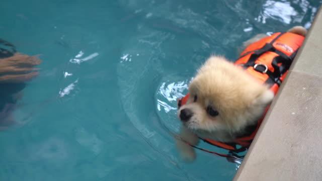 dog swimming in pool - malamute video stock e b–roll