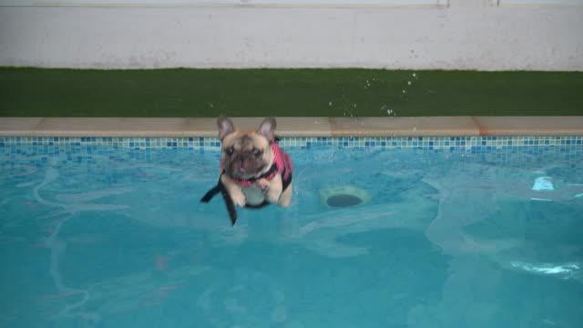 vídeos de stock, filmes e b-roll de cachorro nadando na piscina - natação