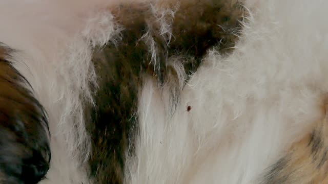 Dog ticks on dog fur Dog ticks on dog fur flea insect stock videos & royalty-free footage