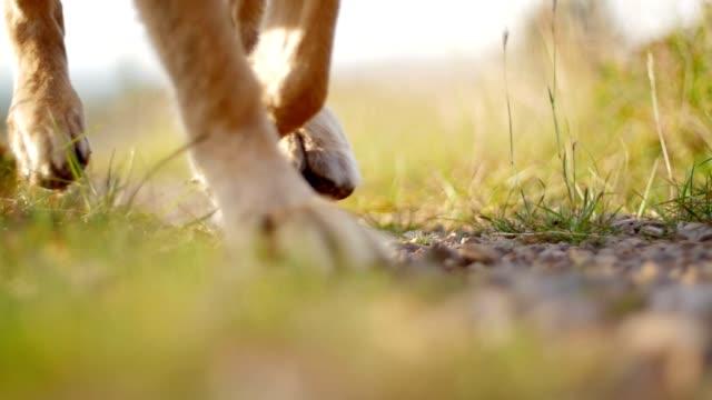 i owczarek niemiecki pies trenera - łapa filmów i materiałów b-roll