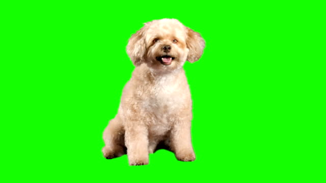 Dog dog on green-screen panting stock videos & royalty-free footage