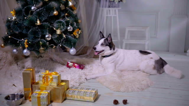 Dog waiting for a gift under Christmas tree. HD. video