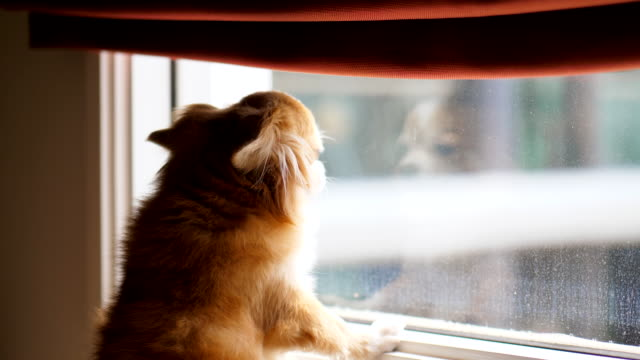 Dog waiting for owner looking out the window for owner purebred dog stock videos & royalty-free footage