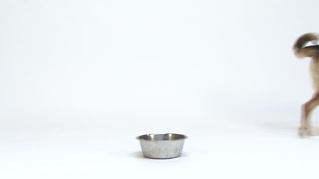 vídeos de stock e filmes b-roll de cão a andar em uma tigela e parar de comer - dog food