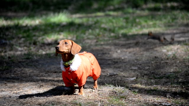 Dog walking. Dog Breeds Dachshund in clothes for dogs video