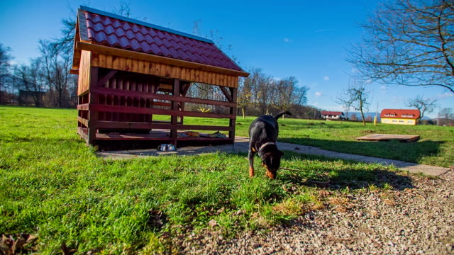 Dog walking in front of the house Dog walking in front of his house on a sunny day in the middle of a beautiful landscape, footage in slow motion. setter dog stock videos & royalty-free footage