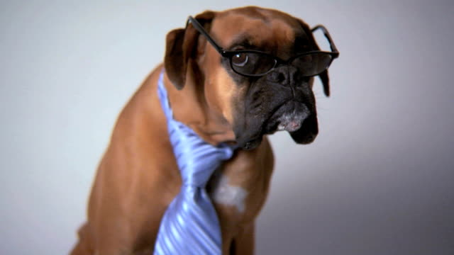 Dog wearing necktie and glasses video