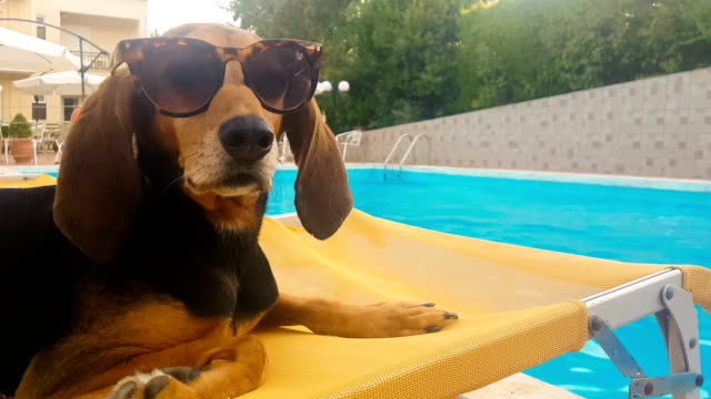 dog wearing sunglasses sitting on a deck chair. a funny moment. - orecchio video stock e b–roll