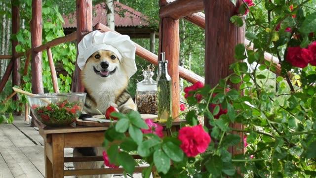 stockvideo's en b-roll-footage met hond welsh corgi pembroke is een bewonderaar van italiaanse gerechten, een salade van tomaat, olijfolie, rucola en walnoten. - oil kitchen