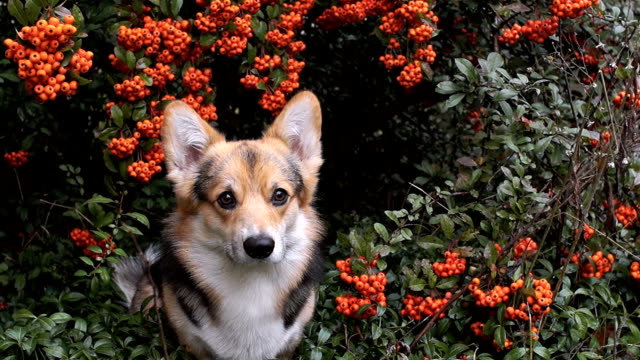 Dog Welsh Corgi Pembroke on the background of a beautiful shrub pyracanthus. video
