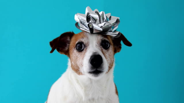 Dog with a bow on his head Jack Russell Terrier dog with bow on blue background. Holiday concept mammal stock videos & royalty-free footage