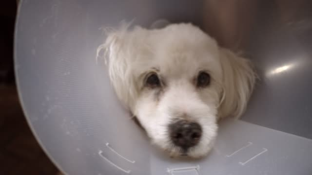 Dog with a cone Loved pets at home flea insect stock videos & royalty-free footage