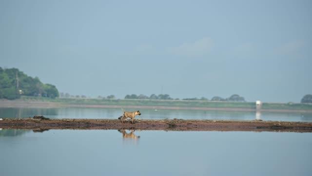 hund med reflektion vid sjön med naturbakgrund. avkopplande djur på naturparken. frisk miljö och landskap. - flod vatten brygga bildbanksvideor och videomaterial från bakom kulisserna