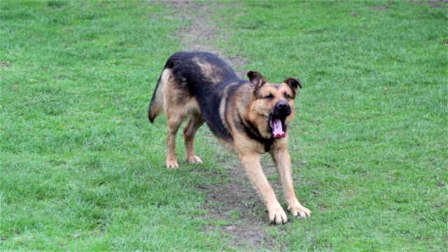dog yawning on the grass Dog on the grass doing morning exercises and yawns stretching stock videos & royalty-free footage